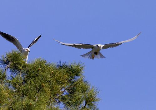whitetailedkites elanusleucurus
