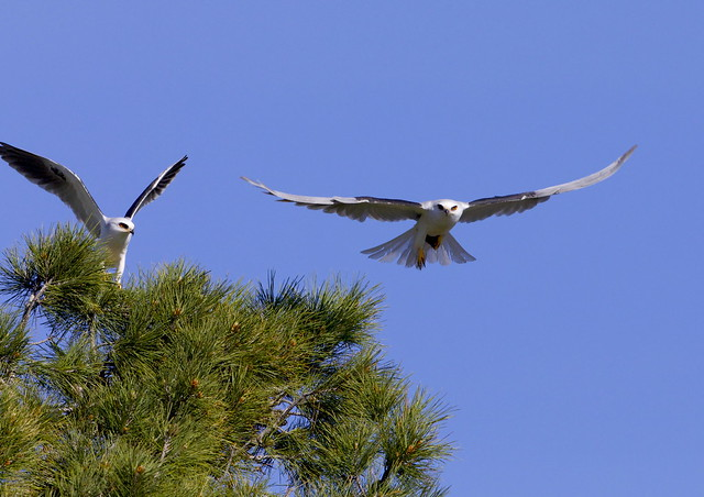 A nesting pair of White-tailed Kites (Elanus leucurus), just after a mouse transfer was made by the kite on the left