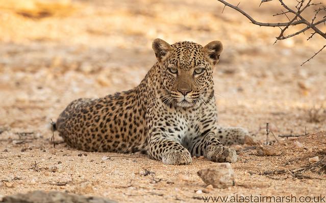 Adolescent Leopard