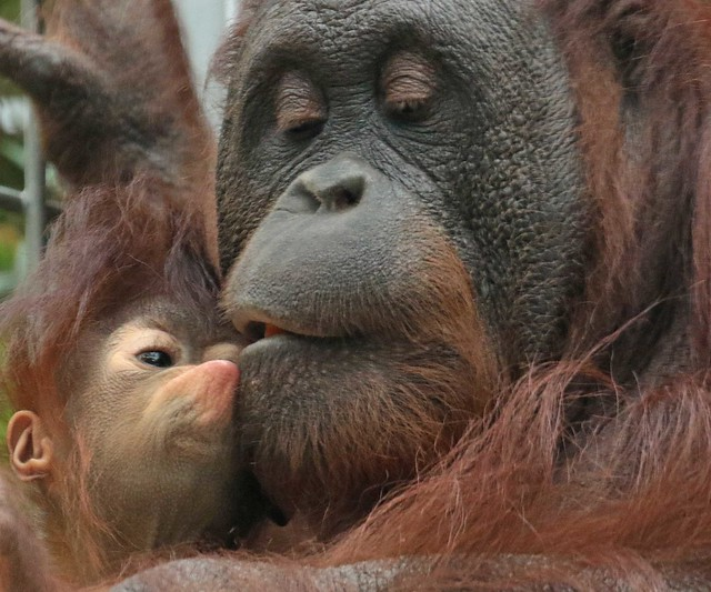 Borneo orangutan Tjintha and Minggu Ouwehand BB2A0240