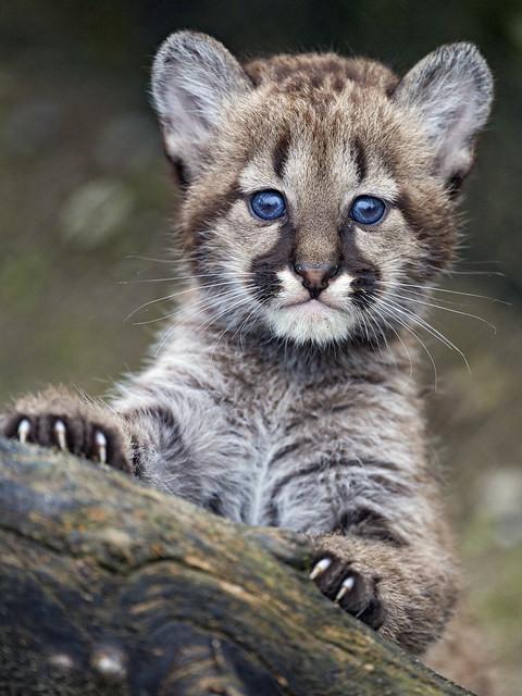 Adorable puma cub, posing well