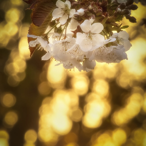 cherry blossom flower sunset golden tree