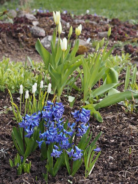 Hyacinthus orientalis 'Atlantis' & Tulipa 'Purissima'