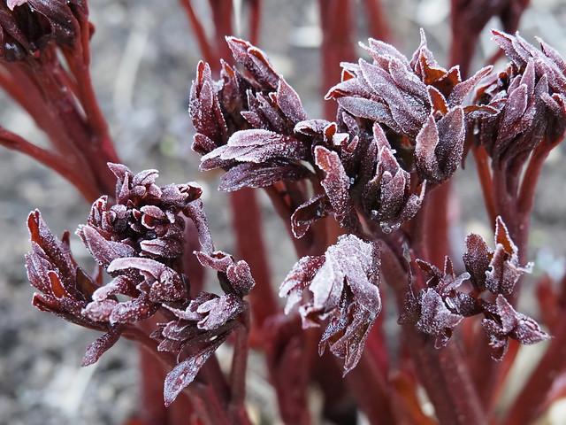 Paeonia 'Coral Charm'