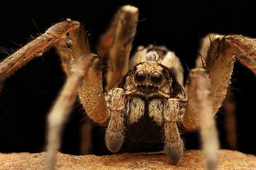 Wolf Spider (Lycosa godeffroyi?)