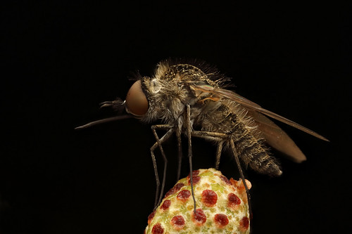 Bee Fly (Geron sp.)