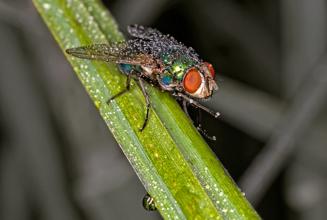 flesh fly with a flash