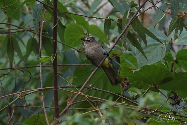 1.21494 Bulbul flavescent / Pycnonotus flavescens sordidus / Flavescent Bulbul