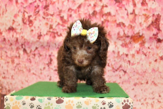 1 Joy (Lulu) Female CKC Maltipoo 1lb 10.5oz 6W3D old (46)