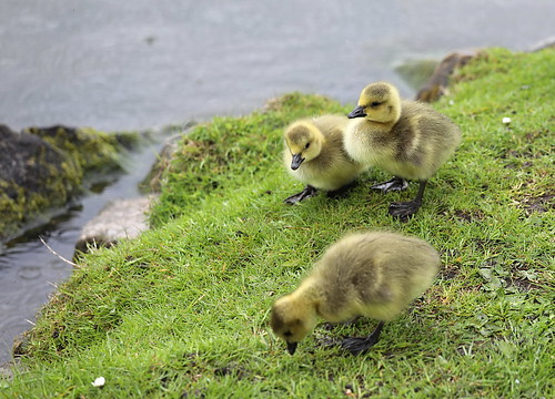 coth5 canadageese goslings