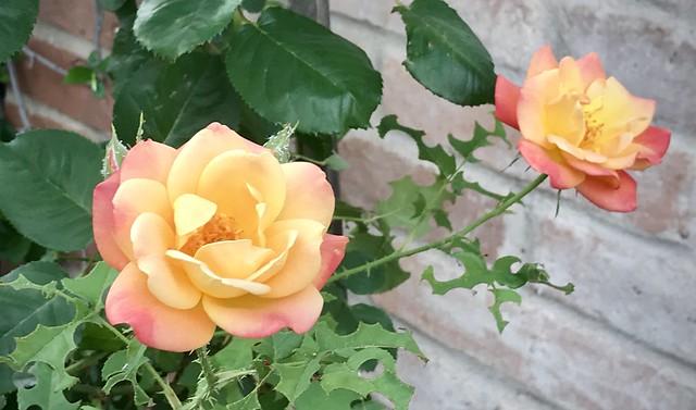 My Raspberry & Guernsey Golden Cream Rose - In Explore