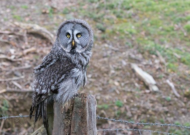 Great Grey Owl (Strix nebulosa) 0229