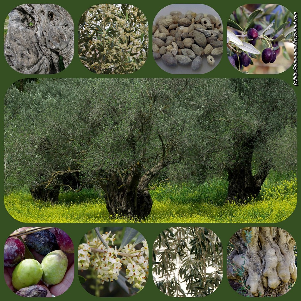 Olives-collage2-a-a