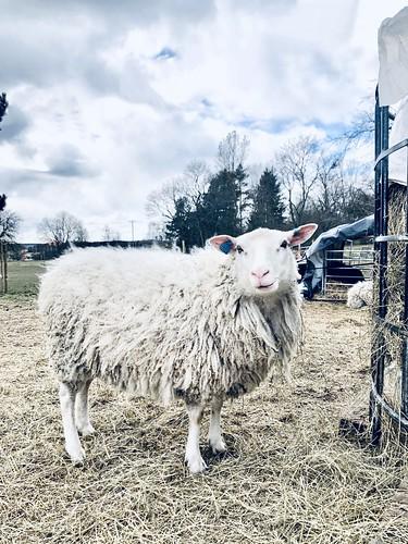 sheep o'hoy, suburban, sweden, april 2020 💙