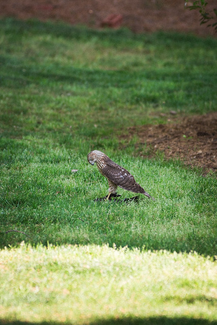 Cooper's Hawk and Prey - Raleigh, NC