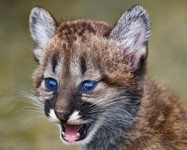 Puma cub a bit unhappy