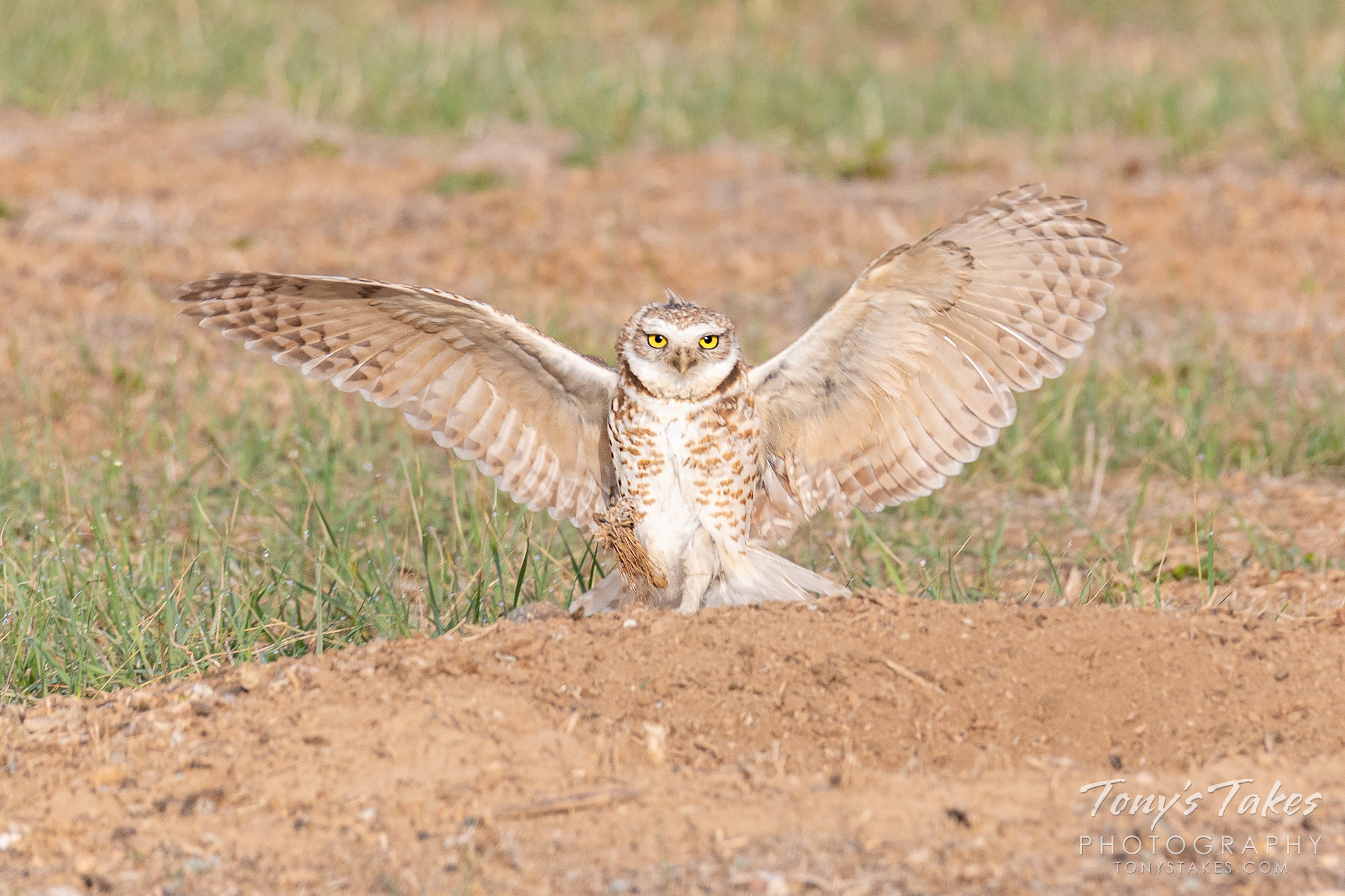 A male burrowing owl makes a show of its landing. (© Tony's Takes)