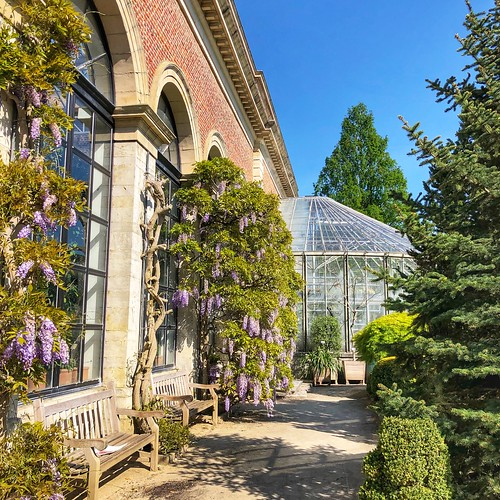 blooming wisteria in the botanical garden of Leuven | by Kristel Van Loock