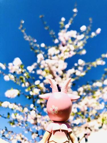 cherry blossom trees, stockholm suburbs, sweden, april 2020