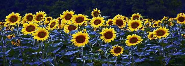 FLOWERS SUNFLOWERS TWITTER BANNER1 copy