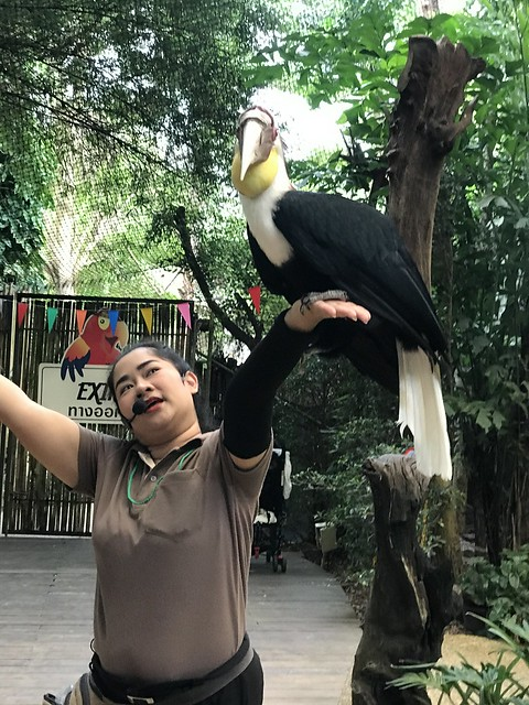 Getting close to a volunteer, and an Oriental Pied Hornbill