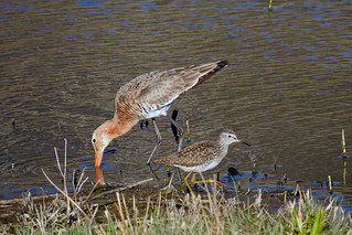 Black-tailed Godwit and Wood Sandpiper | by Sergey Yeliseev