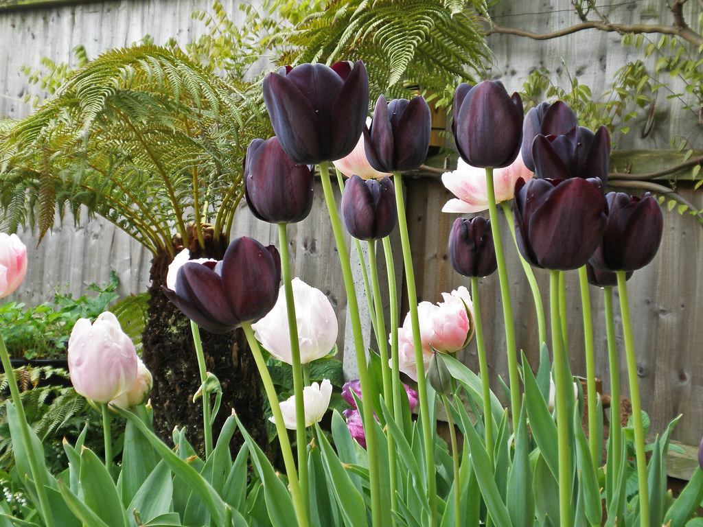 Tulip Diaries   The Purple Sensations are coming to an end b…   Flickr