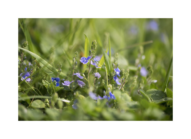 Speedwell spotted on our daily walk..