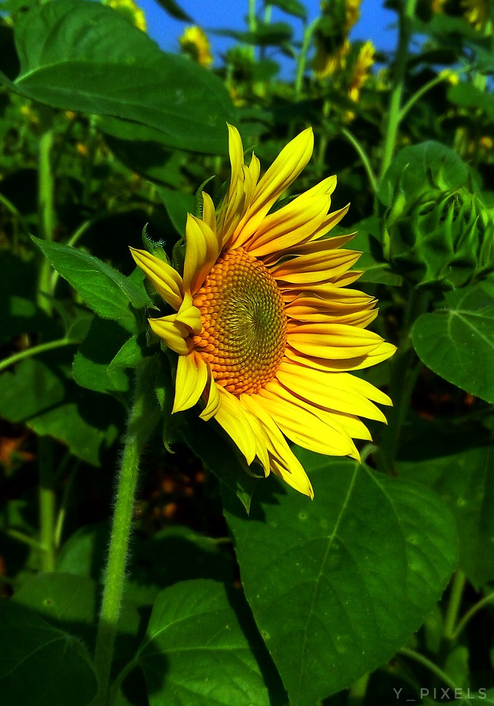Sunflower sings a song.............