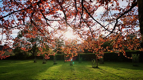 beech tree leaves red golden sunset huaweimobile android nature welwyn hertfordshire backlit