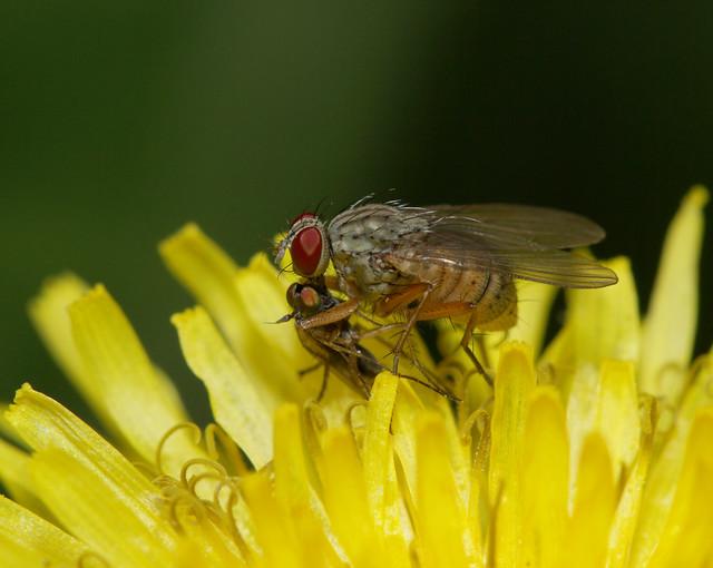 Small fly vs. tiny fly