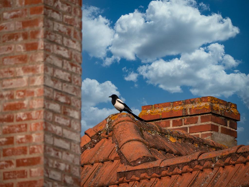 La pie sur le toit... 49841790523_b7cc88ceda_b