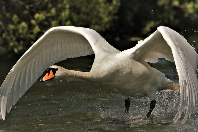 Mute Swan (Male)  Cygnus olor . Taken on my permitted daily exercise walk from home