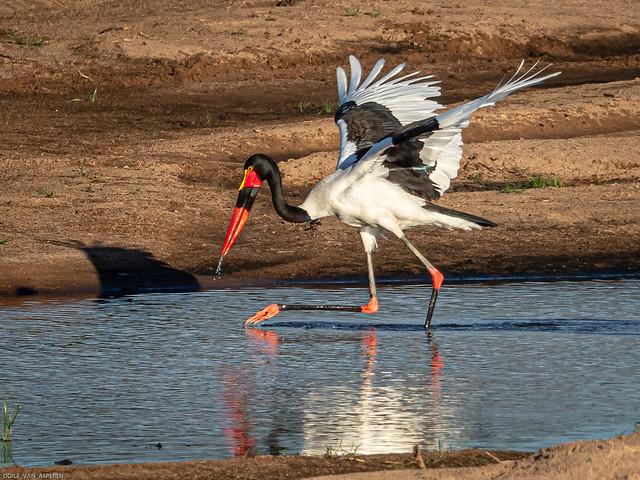 Saddle-billed Stork/Ephippiorynchos senegalensis,