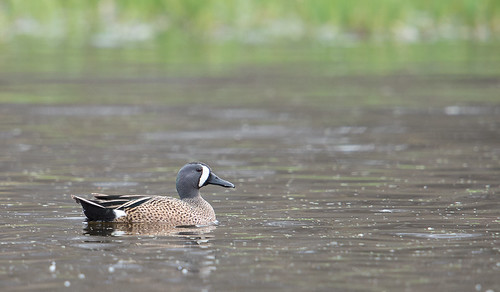 Blue Winged Teal at Eagle Marsh. From Let The Nature Conservancy Help You Find Great Birds Around the Great Lakes
