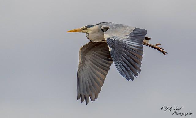 DSC0166 Grey Heron...
