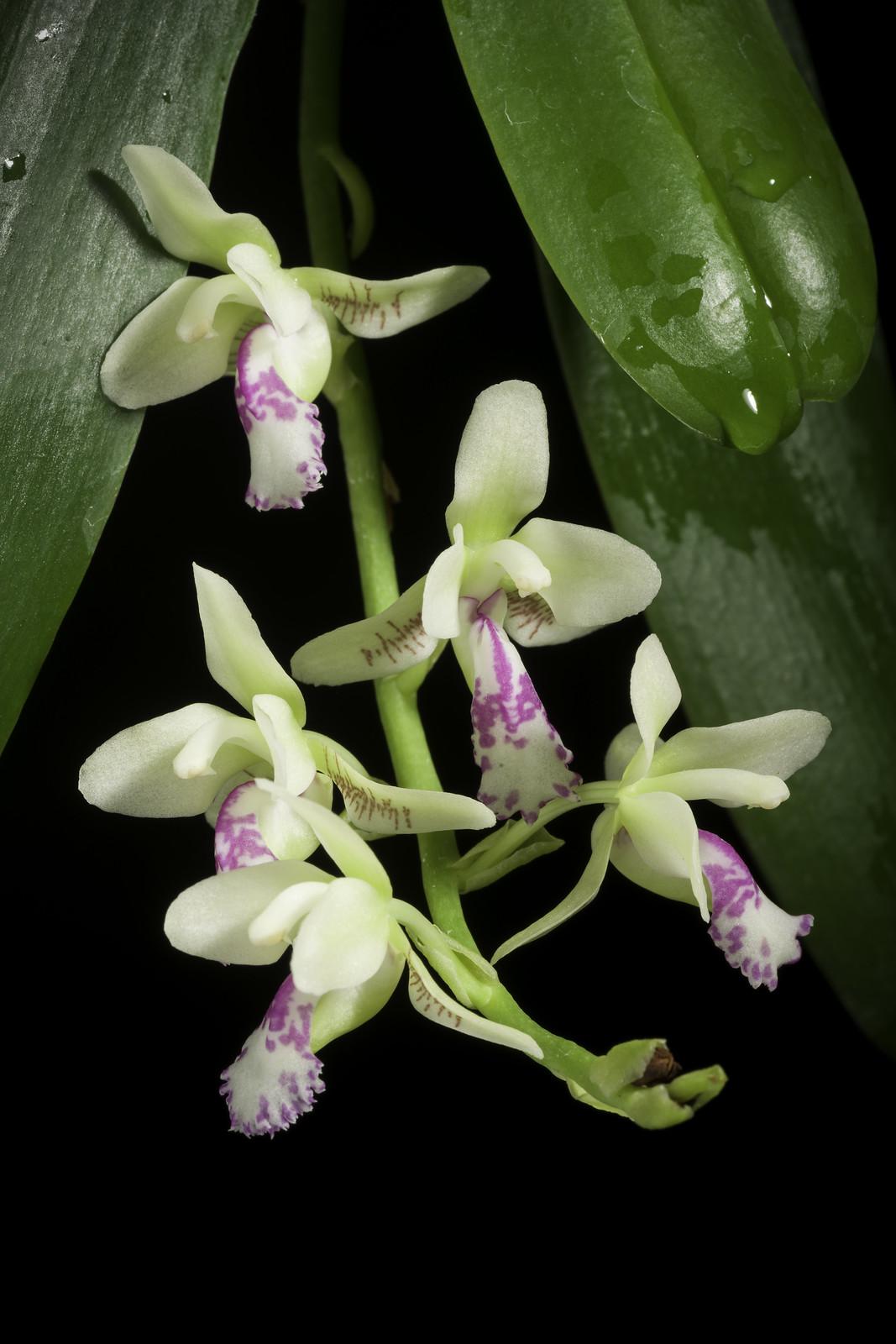 Phalaenopsis japonica '#2003' (Rchb.f.) Kocyan & Schuit., Phytotaxa 161: 67 (2014)