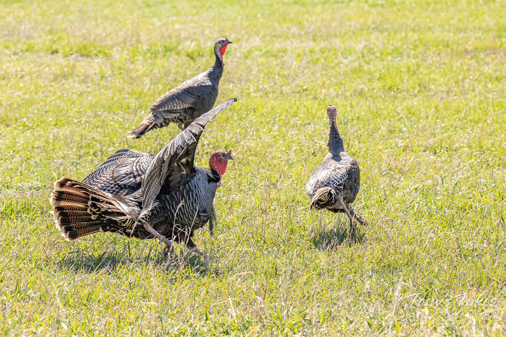 A turkey tom chases off a competitor in Thornton, Colorado. (© Tony's Takes)