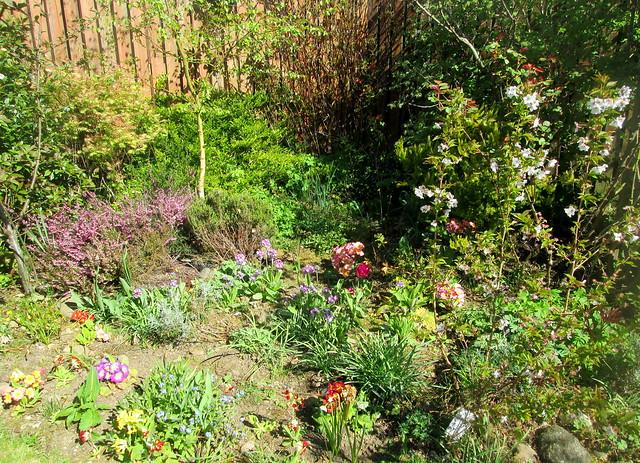 heathers, cherry blossom, primulaGarden 1