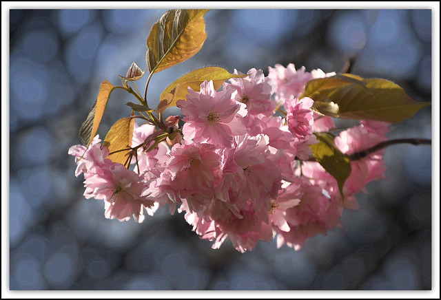 Flower Of The Day - Cherry Blosssoms