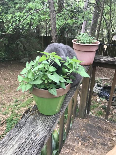 My Lil' Container Garden - Summer Garden 2020 2020-03-29 16.10.10
