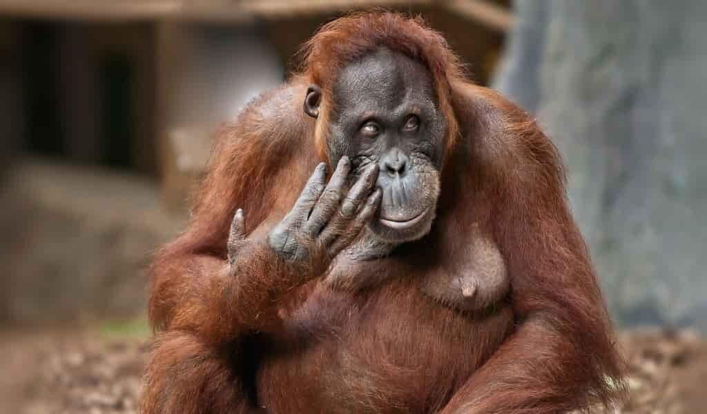 se-gratter-est-contagieux-si-vous-êtes-un-orang-outan