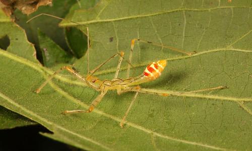 Assassin Bug Nymph (Endochus sp., Reduviidae)