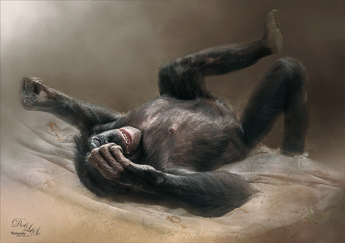 Image of a Bonobo Monkey from the Jacksonville Zoo