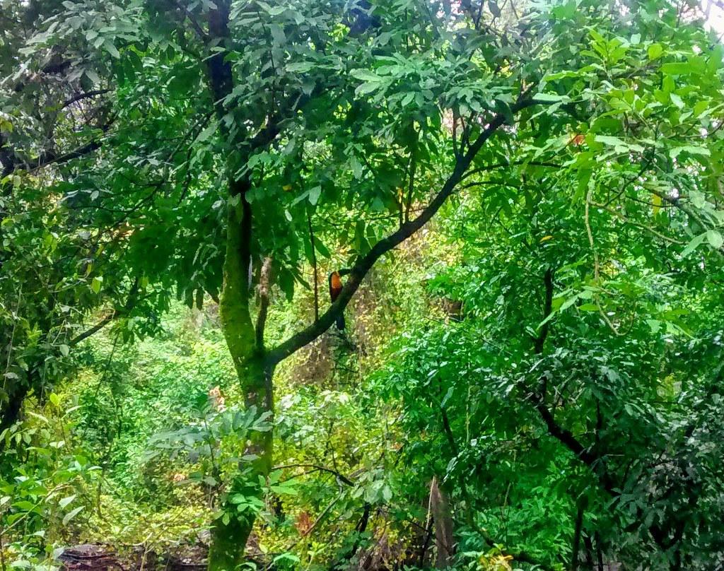 Tucano, Floresta da Tijuca.