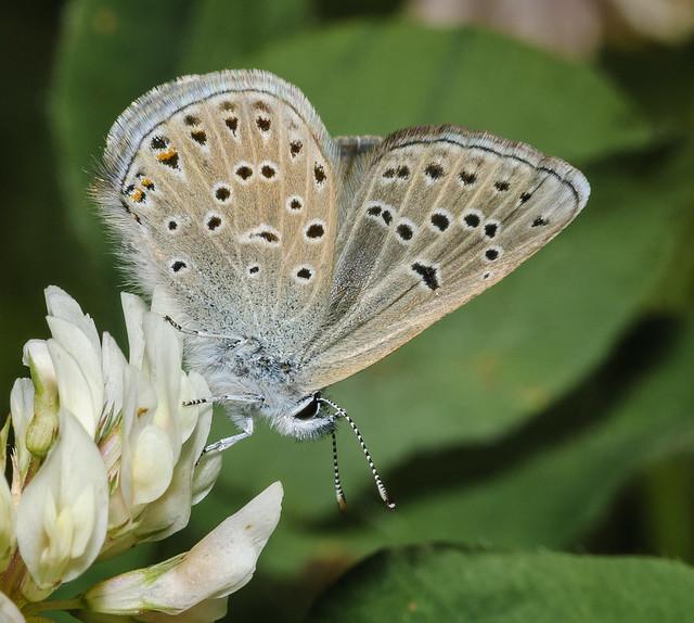 Greenish Blue - Plebejus saepiolus (Lycaenidae, Poliommatinae, Polyommatini) 107g-1047