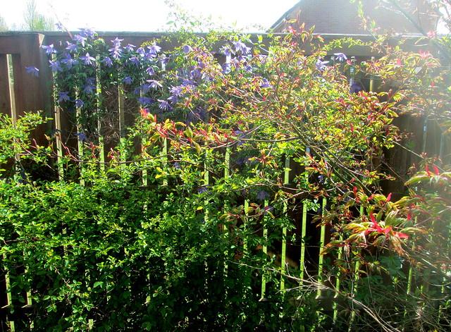acer, clamatis alpina, Garden 5