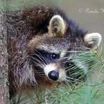 Camera shy raccoon