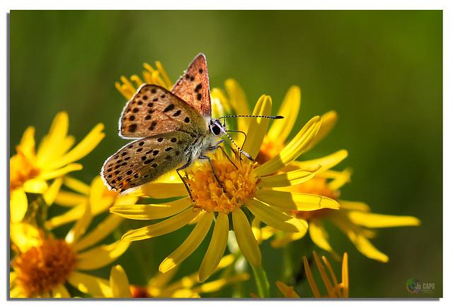 Argus brun ou Cuivré : On dit que le battement d'ailes d'un papillon peut engendrer un typhon à l'autre bout du monde.