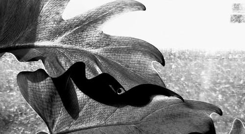 blackandwhite bw leaves light design shadow sunlight starlight